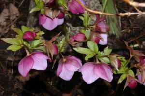 pink hellebore b.y. 20.3.11