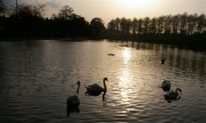 swans at inverleith park